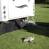 Baby wallaby asleep behind the motorhome