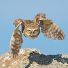 Burrowing Owls :