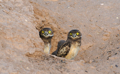Burrowing Owl Juveniles