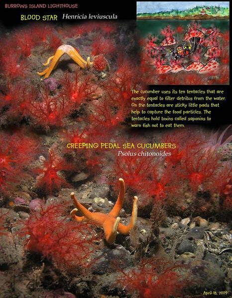 Burrows Island, Blood star and Creeping Pedal Sea Cucumbers, April 18, 2009