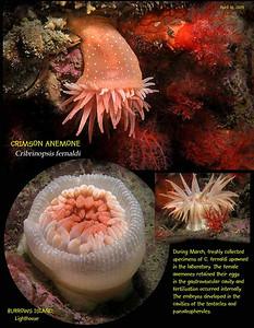 Crimson anemone,    Burrows Island. April 18, 2009