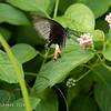 <i>Papilio polytes</i>, female Rosario, Batangas