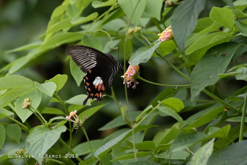 <i>Papilio polytes</i> Rosario, Batangas