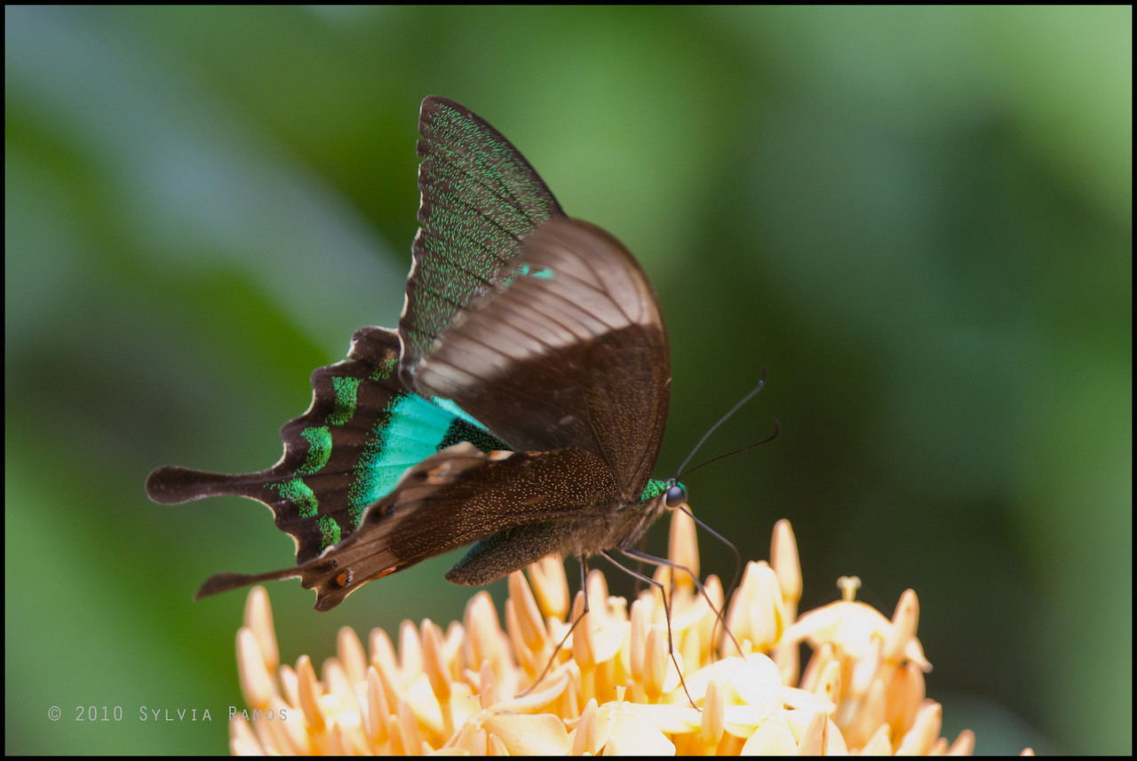 <i>Papilio daedalus</i> Simply Butterflies, Bilar, Bohol