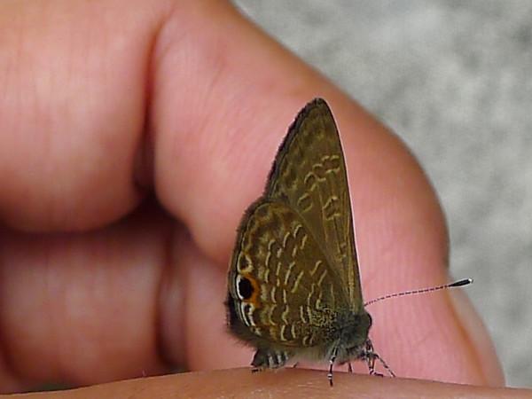 <i>Jamides bochus</i> Lycaenidae family Pasonanca, Zamboanga