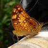 <i>Vagrans sinha sinha</i> Pasonanca, Zamboanga Nymphalidae Family