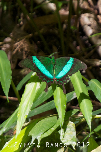 """This butterfly has a lot of names including EMERALD SWALLOWTAIL and BANDED PEACOCK and MOSS PEACOCK <i>Papilio palinurus daedalus</i> Pasonanca, Zamboanga  It is described as being difficult to see in the wild because it tends to stay high up in the forest canopy. When I saw this butterfly, it was high up on hillside. It's bright green V pattern caught my eye. The color was so vivid that I thought it was a piece of plastic that got lodged high up in the vegetation.  According to Lydia Robledo, """"They can be seen all over the country. Subic and Banahaw have lots."""""""