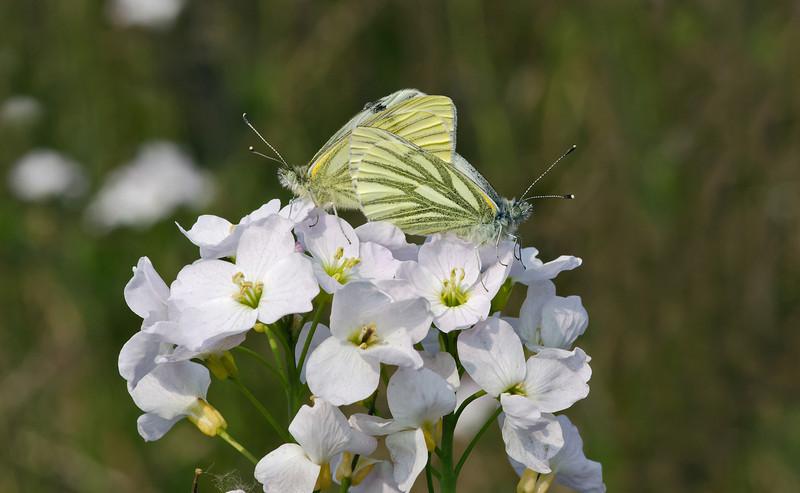 Green-veined White 4