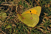 Clouded Yellow 1