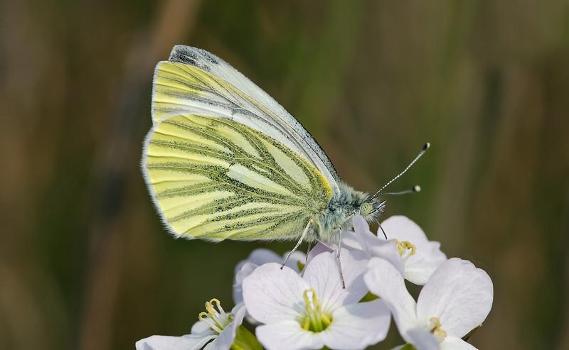 Green-veined White 3