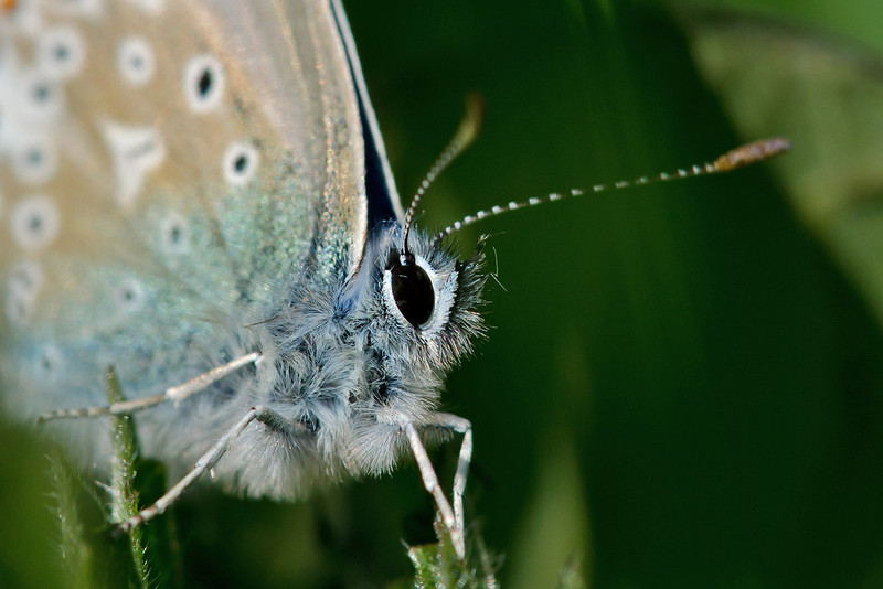 Common Blue 3