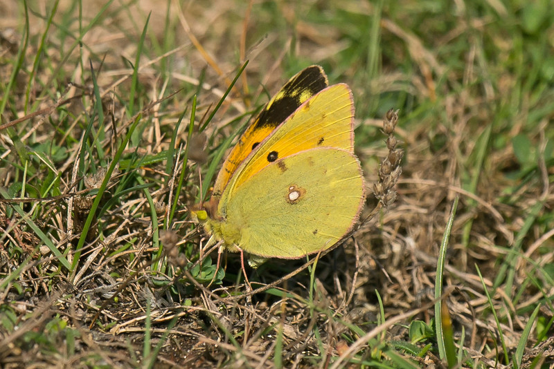 Clouded Yellow 2