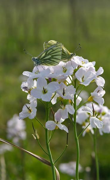 Green-veined White 2