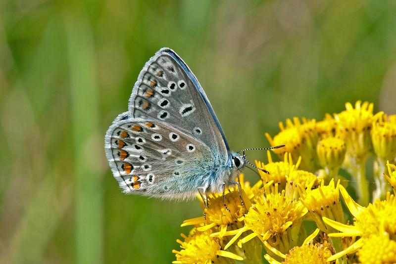 Common Blue 4