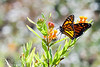 Butterflies in Schroon Lake 8/26/2012 :