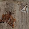 Moth, Mandan, ND