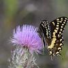 Palamedes Swallowtail, Everglades NP, FL