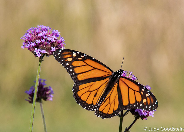 IMAGE: https://photos.smugmug.com/Other/Butterflies/i-FdcC67g/0/41b451c5/M/tower%20hill%209%205%2019-1--M.jpg