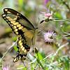 Giant Swallowtail (Papilio cresphontes) Point Pelee, Ontario, Canada
