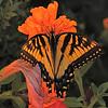 Canadian Tiger Swallowtail (Papilio canadensis) Bismarck ND