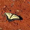 Western Tiger Swallowtail (Papilio rutulus) Sonora AZ