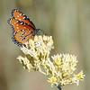 Queen Butterfly (Danaus gilippus) Riparian Preserve at Water Ranch, Gilbert AZ