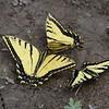 Two-tailed Swallowtail (Papilo multicaudata) Snowbird , Utah