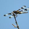 Ten-spot Dragonfly, Grand Forks, ND