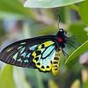 Male Richmond birdwing butterfly (Ornithoptera richmondia)