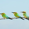 Rainbow Bee-eater's. Seven Mile Beach, New South Wales.