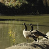 CANADA GEESE 21