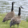 CANADA GEESE 03