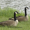 CANADA GEESE 12