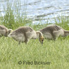 CANADA GEESE 18