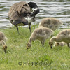 CANADA GEESE 08