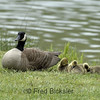 CANADA GEESE 07