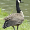 CANADA GEESE 05