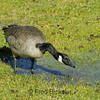 CANADA GEESE 25