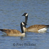 CANADA GEESE 22