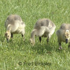 CANADA GEESE 20