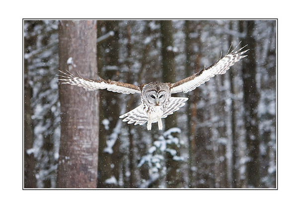 BarredOwlFlyingDownCardFlat