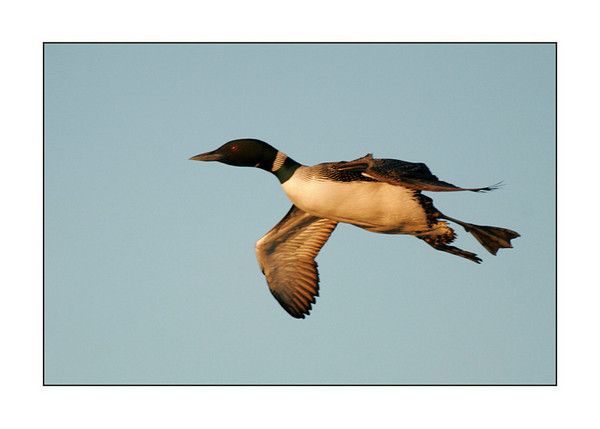 3.  Loon Flying In #1 56671