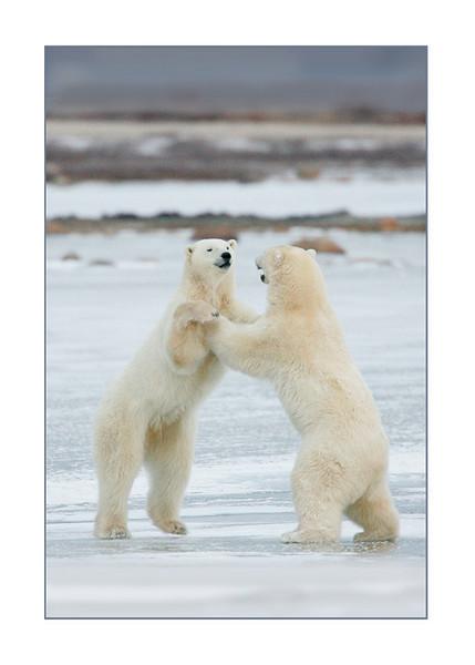 PolarBearsBallroomDancing36124lay