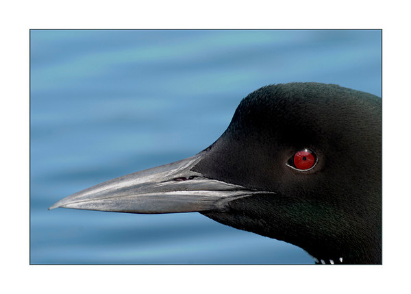 2.  Loon Portrait #2