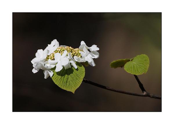 HobblebushBlossom122361