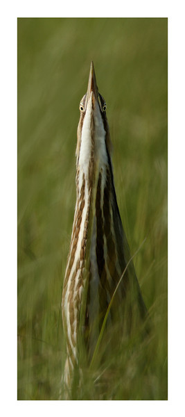 American Bittern Watching You! - Pano