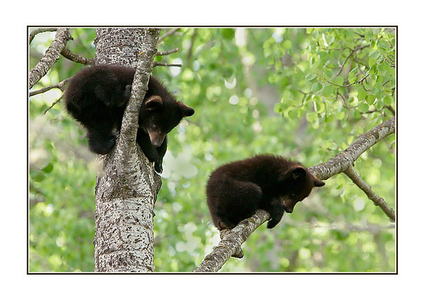 Two Bear Cubs Watching