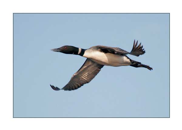 4.  Loon Flying in Calling 89134