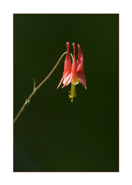 Wildcolumbine128655