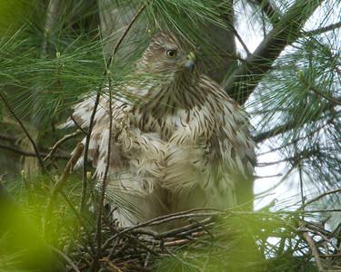 CF-Coopers Hawk Nest-2013